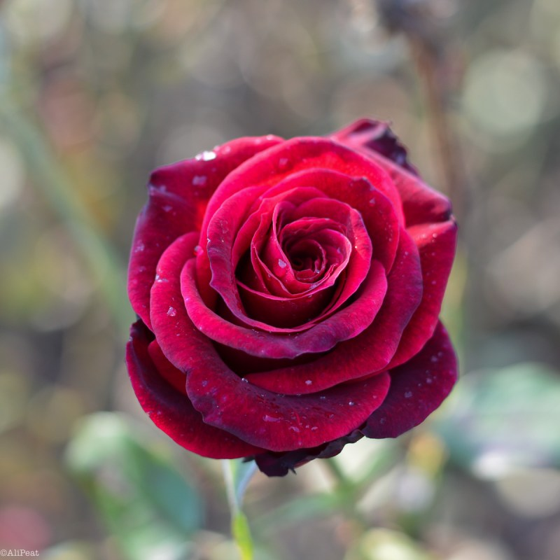 red-rose-regents-park