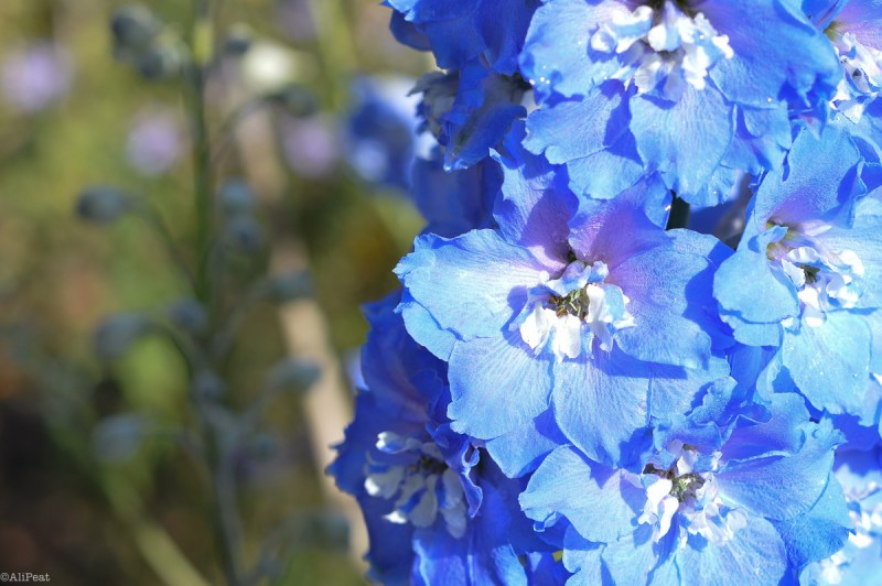 regents-park-blue-flower