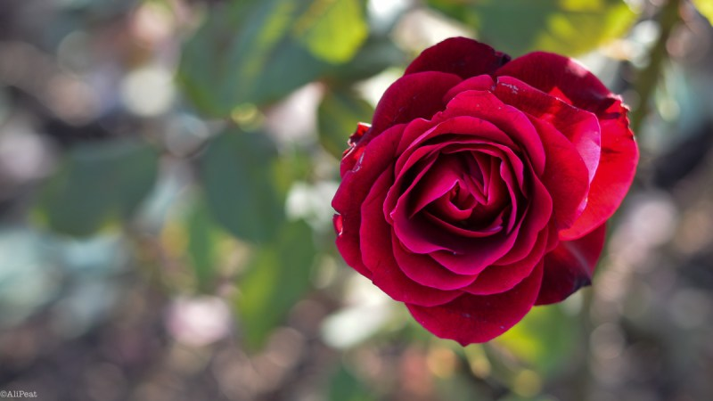 regents-park-red-rose