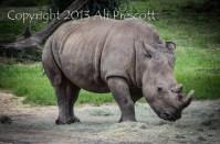Rhinoceros- Animal Kingdom