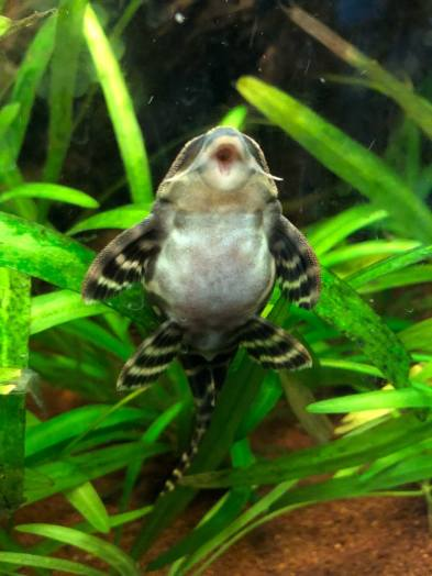 Ventral image of L270 pleco attached to aquarium glass.
