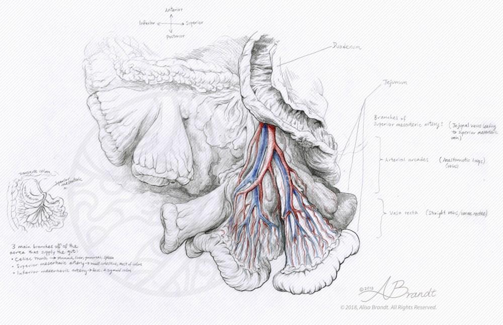 medium resolution of small intestine mesentery sketch