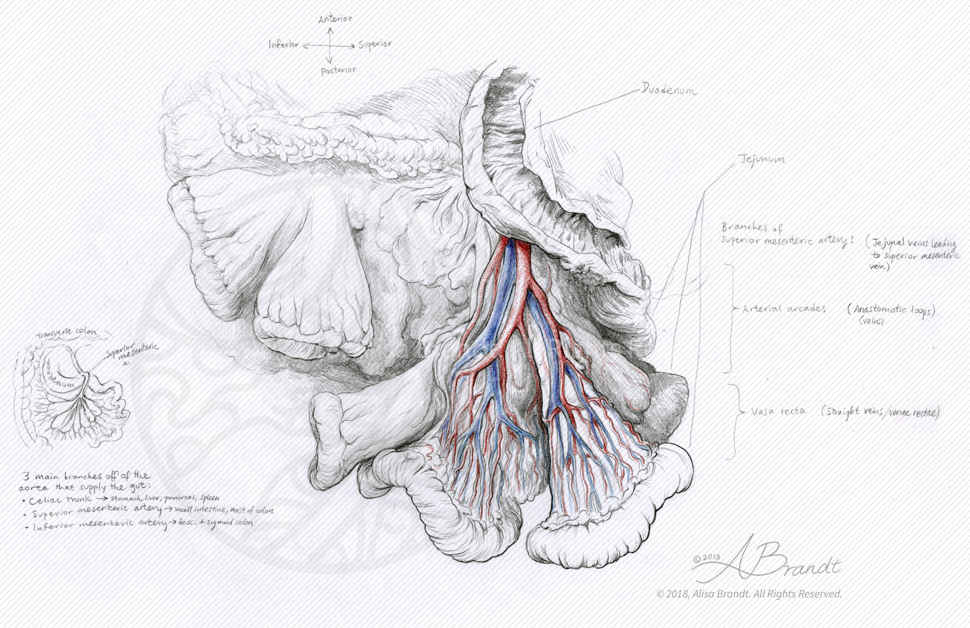 hight resolution of small intestine mesentery sketch