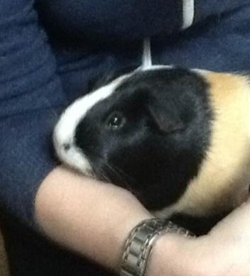 Guinea Pig, Smudge