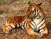 South China Tiger