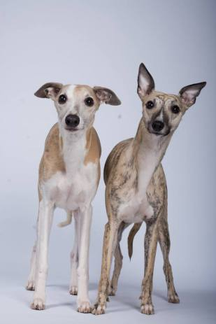Whippets [Photo Credit: Paul Morrison/ The Morrison Sighthound Gang]