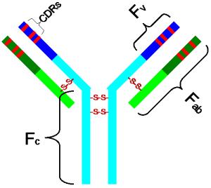 प्रतिरक्षी (एंटीबॉडी) – संरचना एवं कार्य  (Structure and Functions of Antibody )