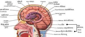मस्तिष्क की संरचना एवं कार्य (Brain Anatomy in Hindi)