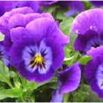 pansy from www.ishalerner.com