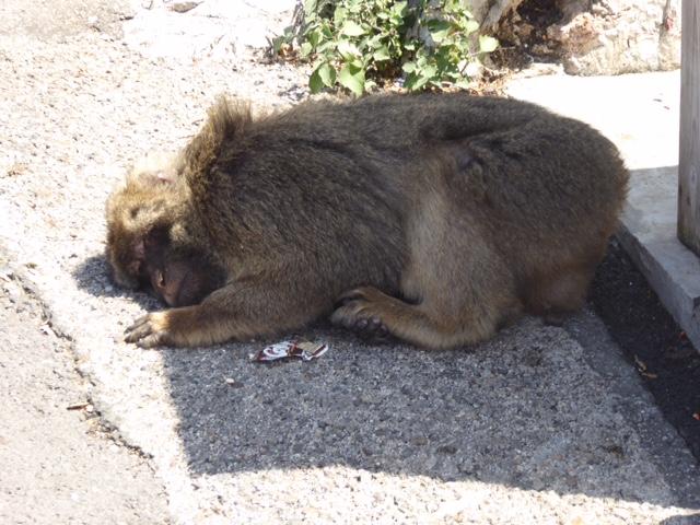 Sleepy ape