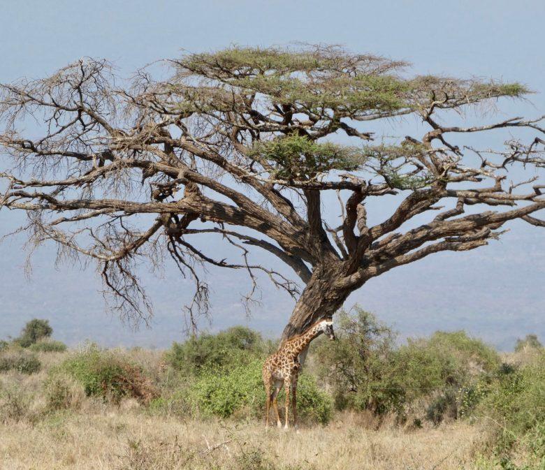 Giraffe under acacia tree in Kenya