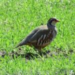 Reg-legged Partridge