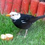 White -headed Blackbird