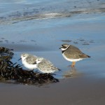 Sanderlings and Ringed Plover