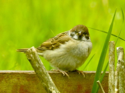 Juvenile Tree Sparrow