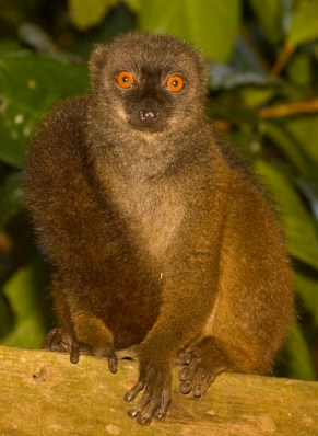 A white-fronted brown lemur trying to steal my lunch. Nosy Mangabe.