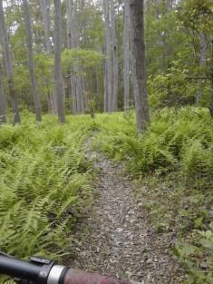 pinehills ferns