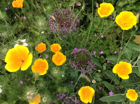 Friends are always asking us for seed of these Californian poppies