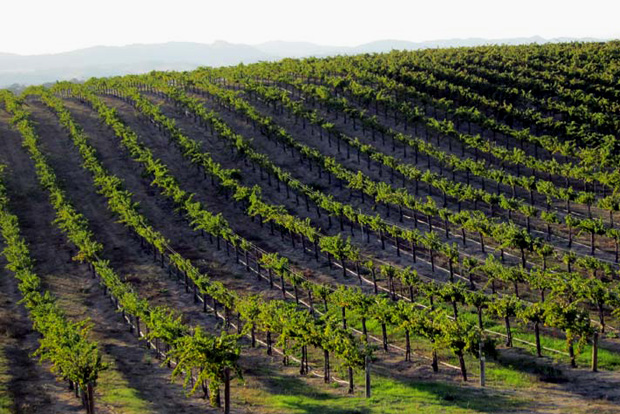 The vineyards at Eberle Winery in Paso Robles