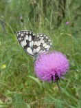 Marbled White II