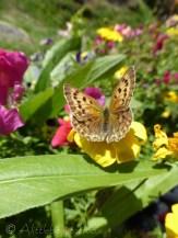 Copper butterfly II