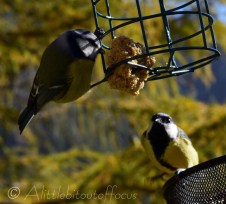 Blue Tit feeds while Great Tit watches