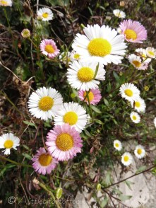 Daisies (possibly)