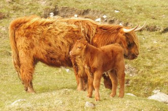 15 Cow and calf
