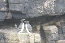 7 Razorbill pair with egg