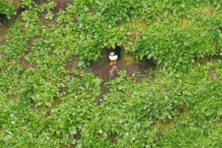 9 Puffin in its burrow