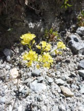 5 Yellow whitlowgrass (possibly)