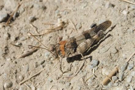 24 Grasshopper
