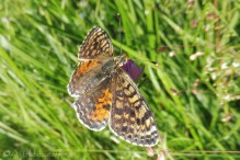 4 Fritillary of some kind