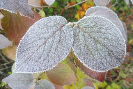 9-frosty-leaves