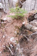 18 Tree growing on a tree stump