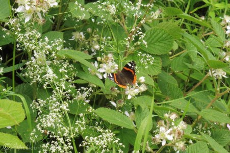 10 Red Admiral