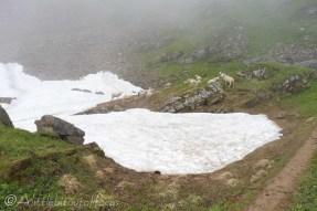 16 Sheep and snow