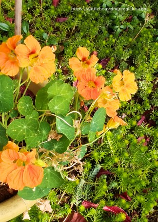 an ever reliable nasturtium graces the yard with orange blossoms. 2016