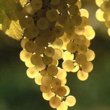 Vinho Verde 365