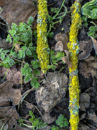 Lichens, dry oak leaves and frosted greens