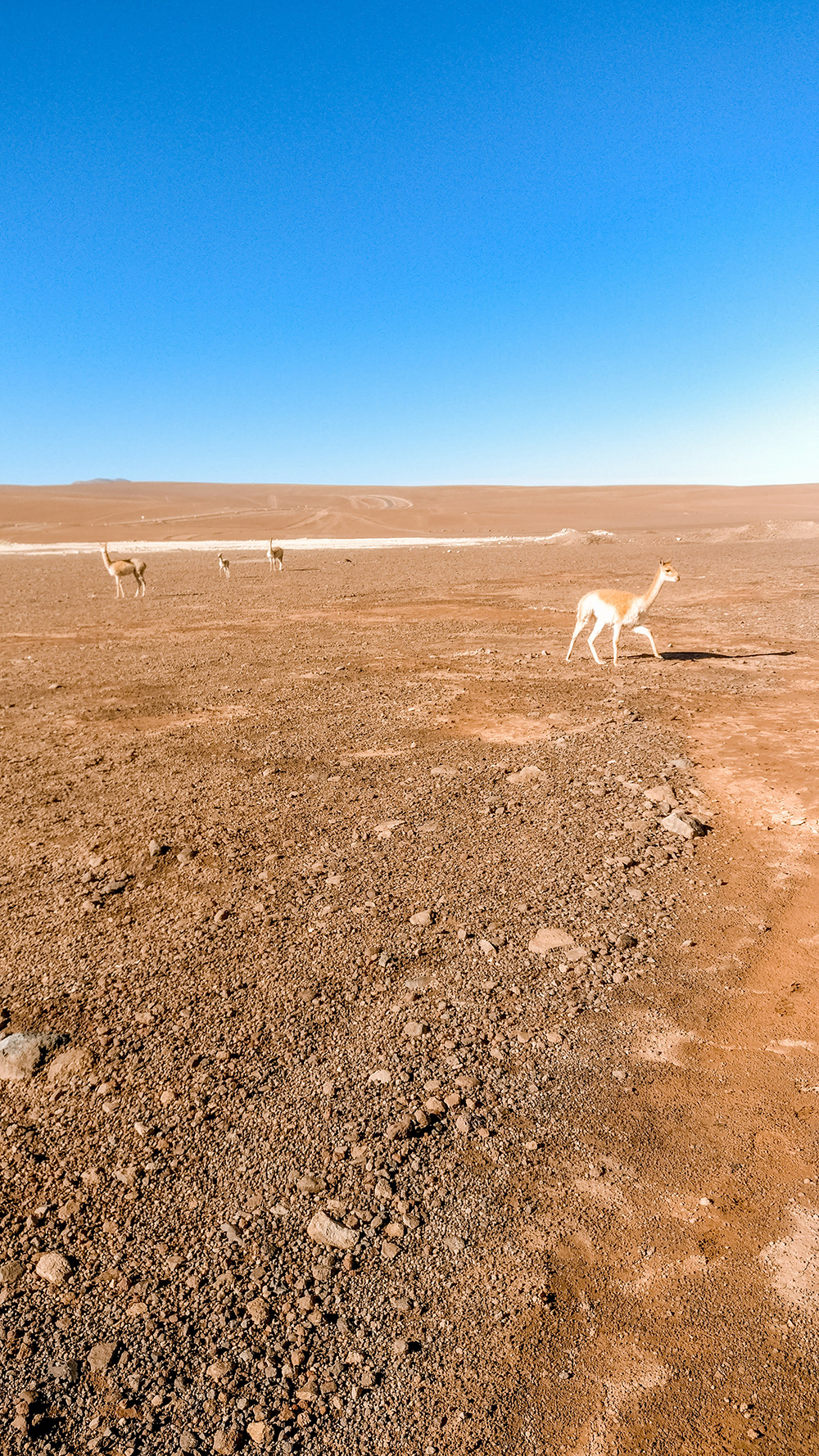Crossing the Bolivian border with vicuñas - How to pick the best Uyuni Salt Flats tour to Bolivia? | Aliz's Wonderland