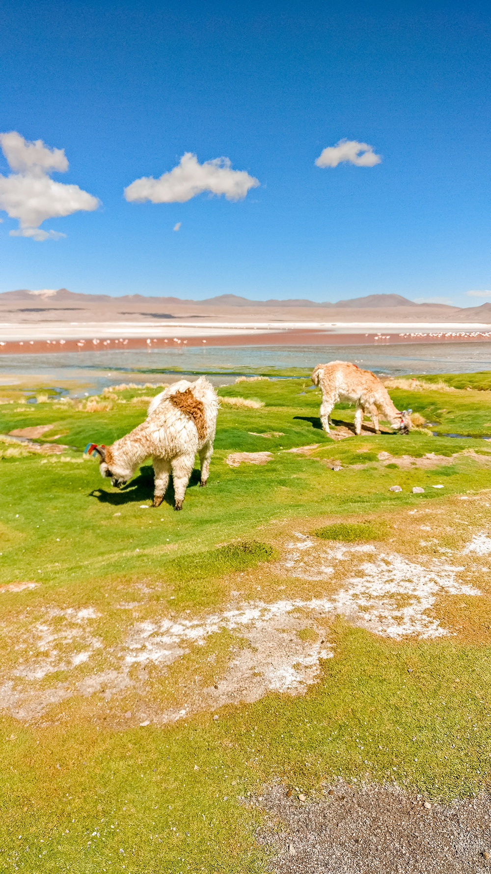 Laguna Colorada with llamas and flamingos - Bolivia 2-week itinerary and travel guide | Aliz's Wonderland