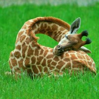 Giraffe Uses Own Body as Pillow