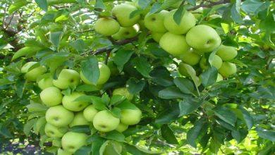 Photo of لجنة إدارة الجفاف بحمص تقترح تعويض مزارعي التفاح