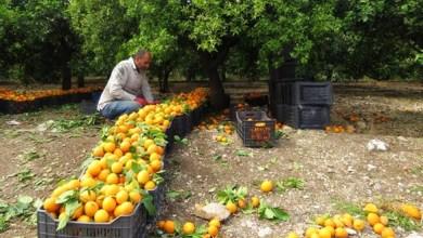 Photo of زراعة طرطوس تقدر إنتاج الحمضيات بـ256 ألف طن من مختلف الأنواع