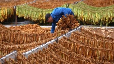 Photo of مزارعو التبغ في منطقة القدموس يطالبون بتغيير خبراء التخمين وإنصافهم بالسعر