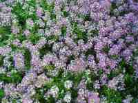 Alyssum Royal Carpet | All-America Selections