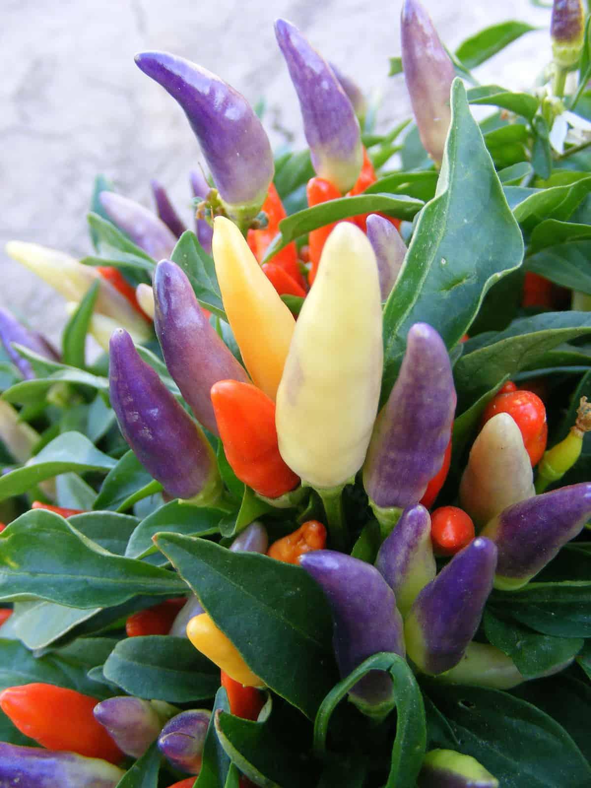 Ornamental Pepper Plant