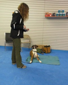 Dash the Boxer practices a down on a mat in Control Unleashed class.