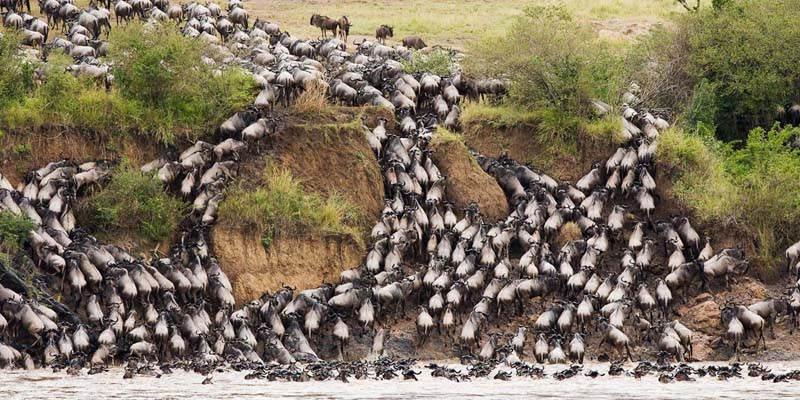 Amazing Natural Events Serengeti Wildebeest
